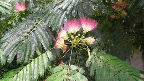 Silk tree, Acacia of Constantinople seeds (Albizia julibrissin)