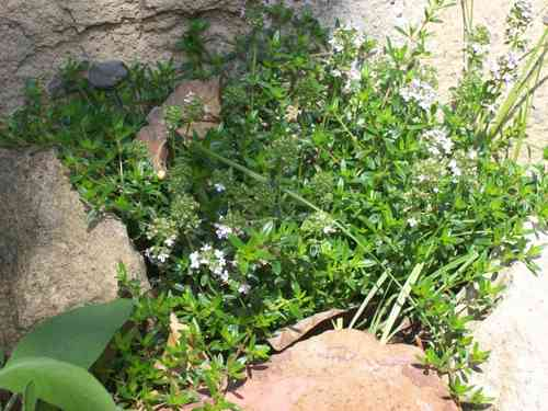 Common Thyme seeds (Thymus vulgaris)