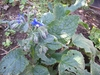 Borage, star flower Seeds (Borago Officinalis)