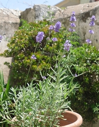 Common lavender seeds (Lavandula angustifolia)