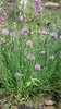 French chives, chives plant (Allium schoenoprasum)