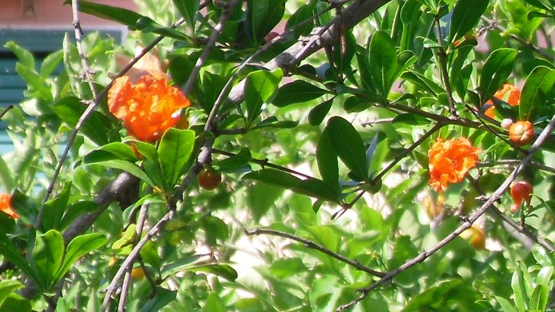 Planta de granada enana punica granatum spicegarden for Arbol granada de jardin