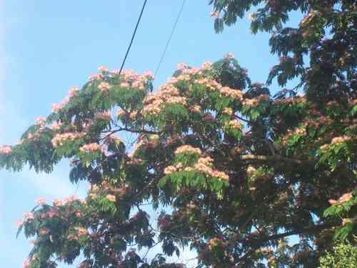 Planta De Acacia De Constantinopla árbol De Seda Albizia