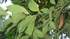 Bay laurel, sweet bay, bay tree (Laurus nobilis)