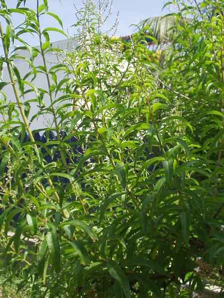 Como cuidar mi planta de hierba luisa en maceta casa dise o - Hierba luisa en maceta ...
