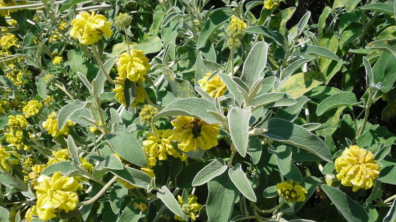 Planta de oreja de liebre salvia de jerusal n phlomis - Como cocinar liebre ...