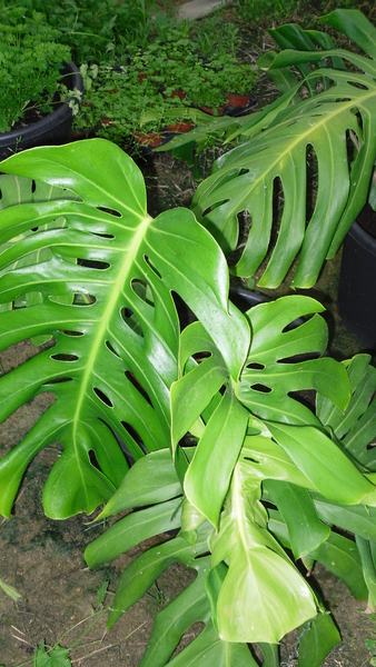 Monstera  Trendy Monstera With Monstera  Monstera With