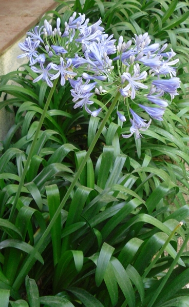 African Lily Plant Agapanthus Africanus Spicegarden