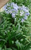 African lily plant (Agapanthus africanus)