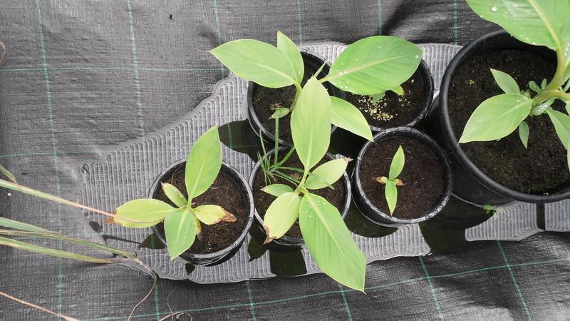 BANANA Musa sakaiana 5 seeds