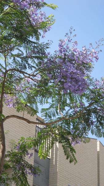 Palisanderholzbaum  Samen Palisanderholzbaum (Jacaranda mimosifolia) - Spicegarden ...