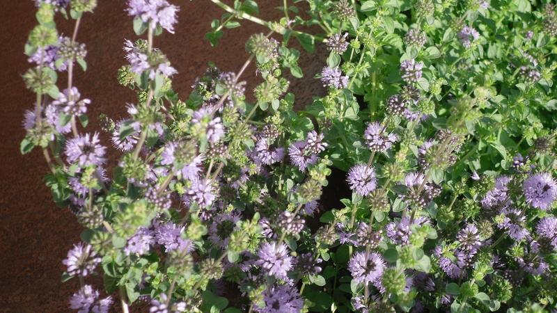 planta de menta poleo (mentha pulegium) - spicegarden