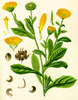 Calendula Seeds (Calendula officinalis)