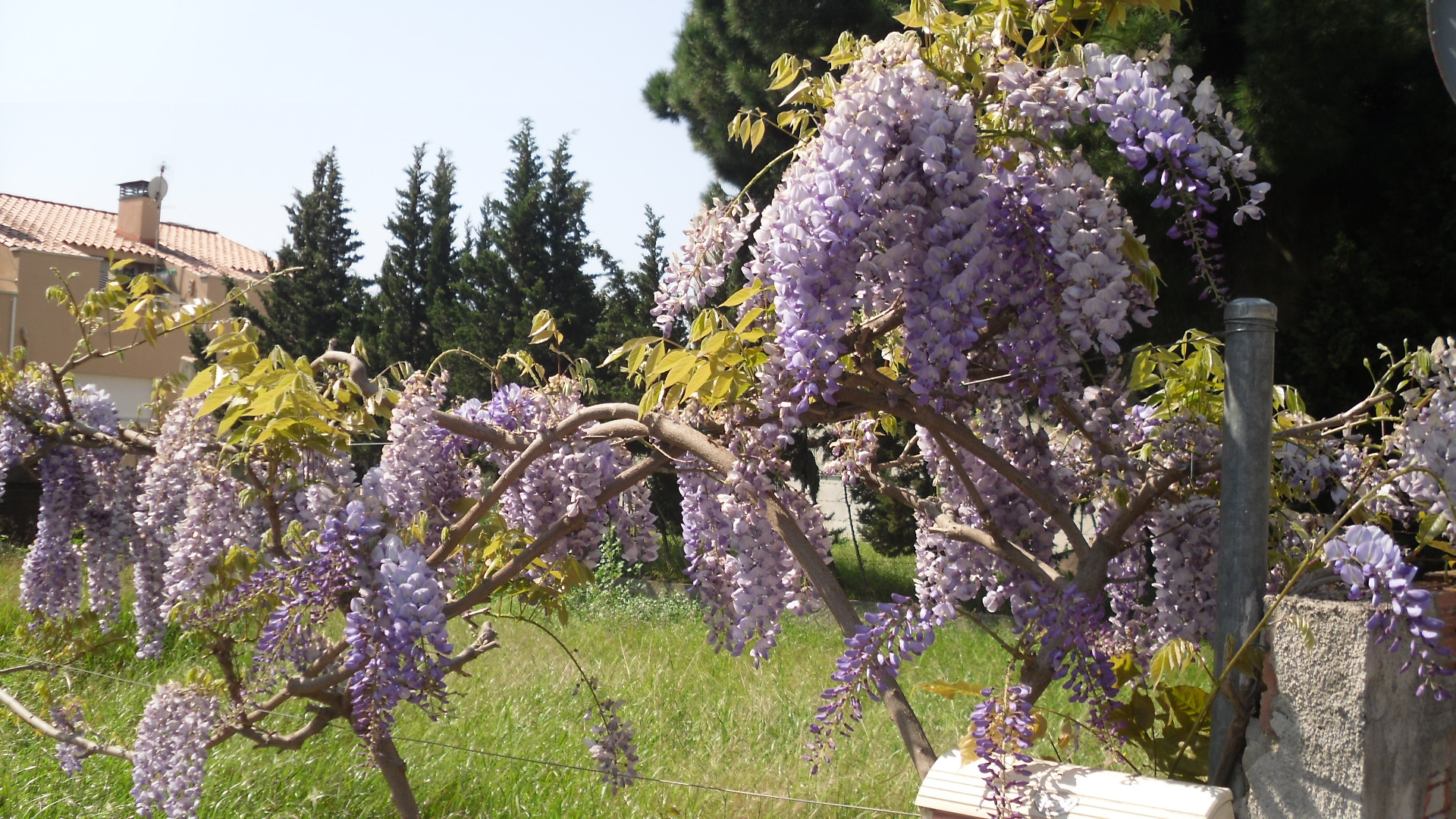 Semillas de glicinia wisteria sinensis spicegarden - Glicinia en maceta ...