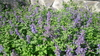 Cat Mint Seeds (Nepeta racemosa)