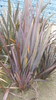 New Zealand flax or New Zealand hemp Seeds (Phormium tenax)