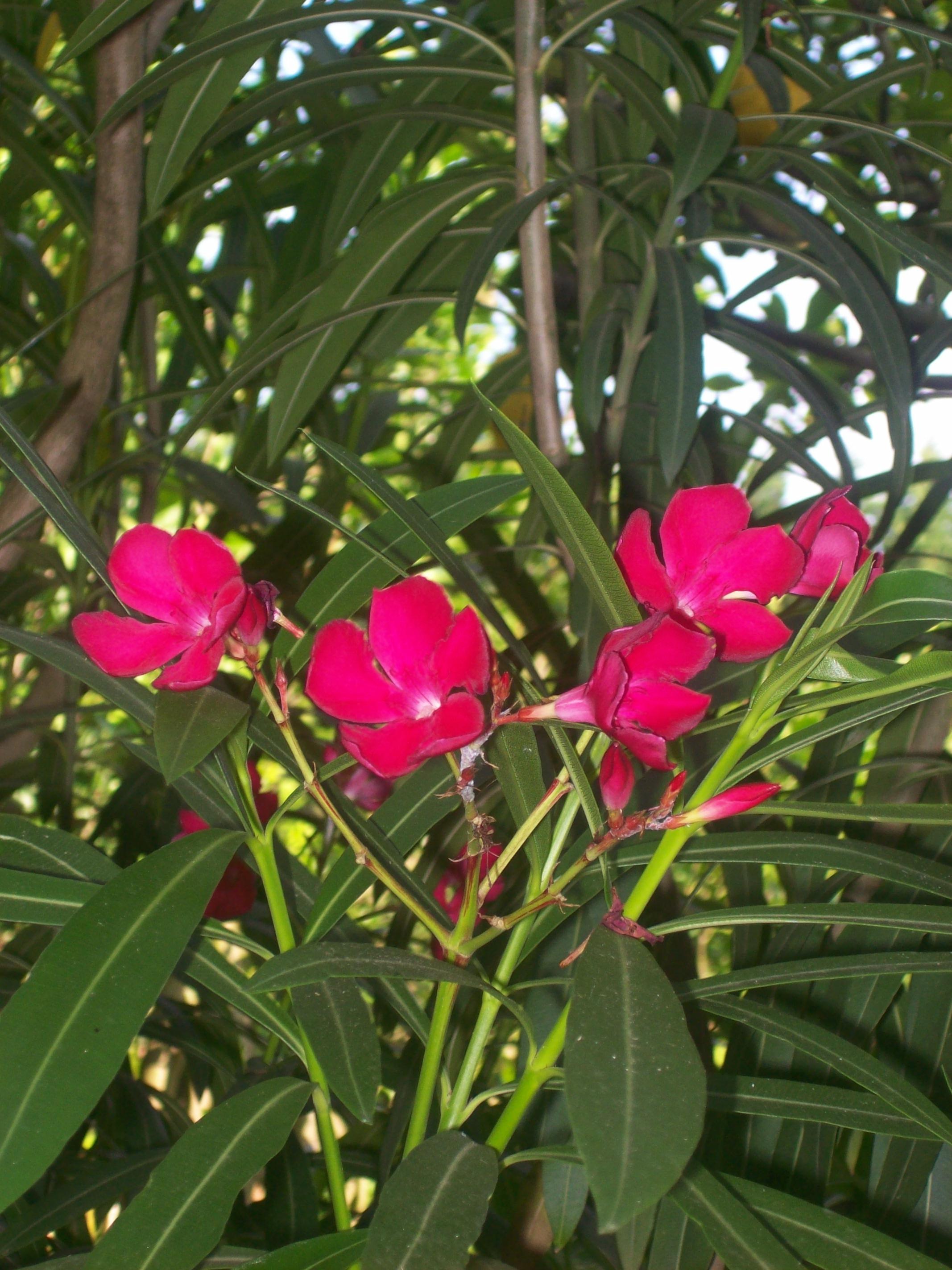 oleander pflege im winter 5536 asimina triloba indianerbanane pflanze paw paw der oleander im. Black Bedroom Furniture Sets. Home Design Ideas
