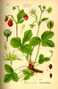 Wild strawberries Seeds (Fragaria vesca)