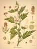 Planta de Malvavisco (Althaea Officinalis)