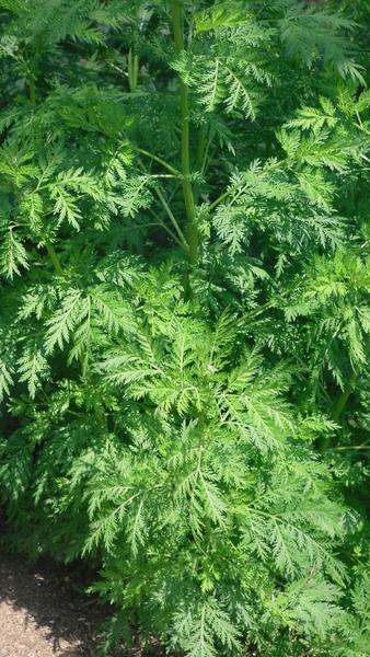 Planta de Artemisia Qing Hao (Artemisia Annua) - Spicegarden | 338 x 600 jpeg 268kB