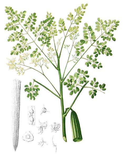 moringa oleifera semillas