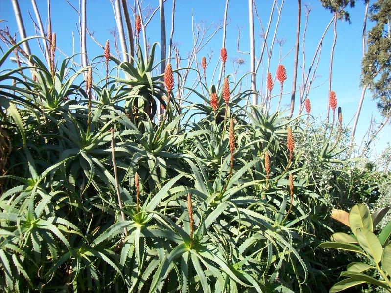 Aloe arborescens kranz aloe seeds aloe arborescens for Tipi di aloe