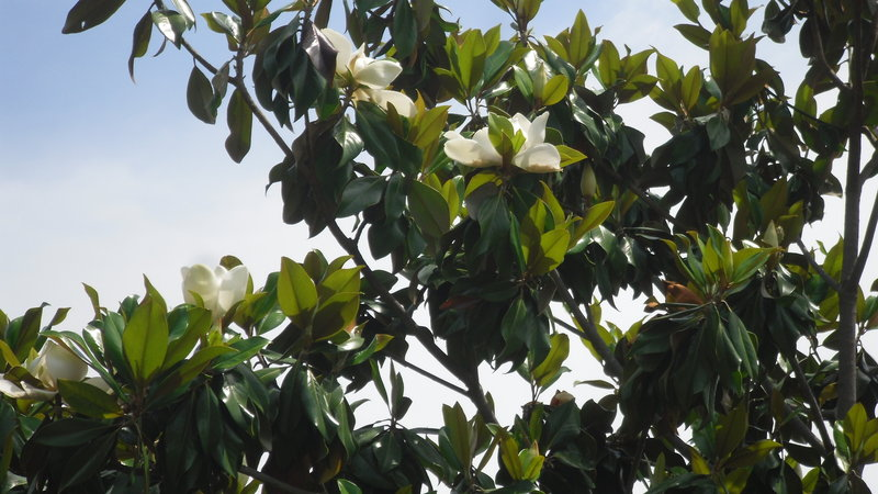 Semillas de magnolia magnolia grandiflora spicegarden - Semilla de magnolia ...