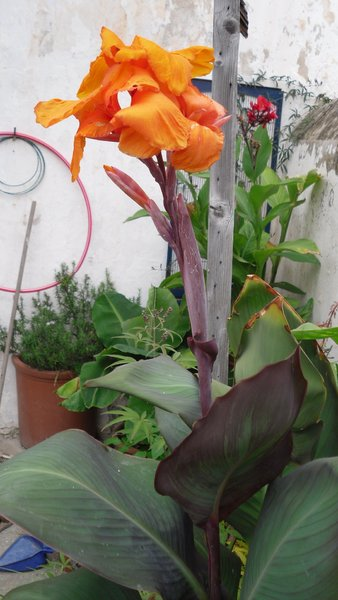 bulbo de canna var prof lorentz canna indica rizoma. Black Bedroom Furniture Sets. Home Design Ideas