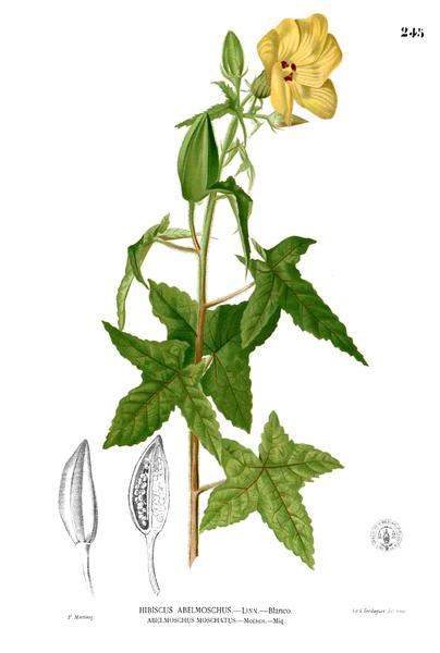 pflanze bisameibisch bisamstrauch abelmoschus moschatus