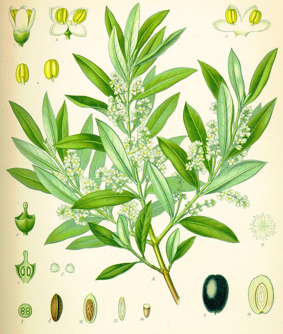 samen olivenbaum echter oelbaum olea europaea saatgut. Black Bedroom Furniture Sets. Home Design Ideas