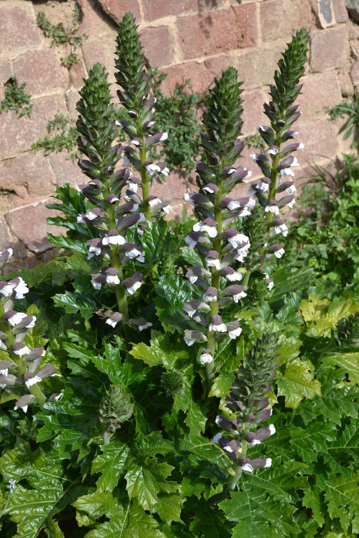 Plant Acanthus Mollis Spicegarden
