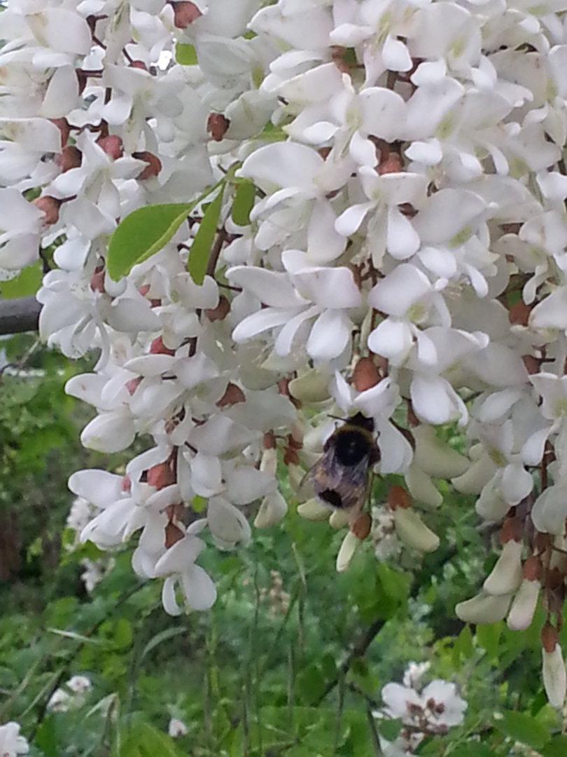 Semillas de Falsa Acacia, acacia Blanca (Robinia pseudoacacia)
