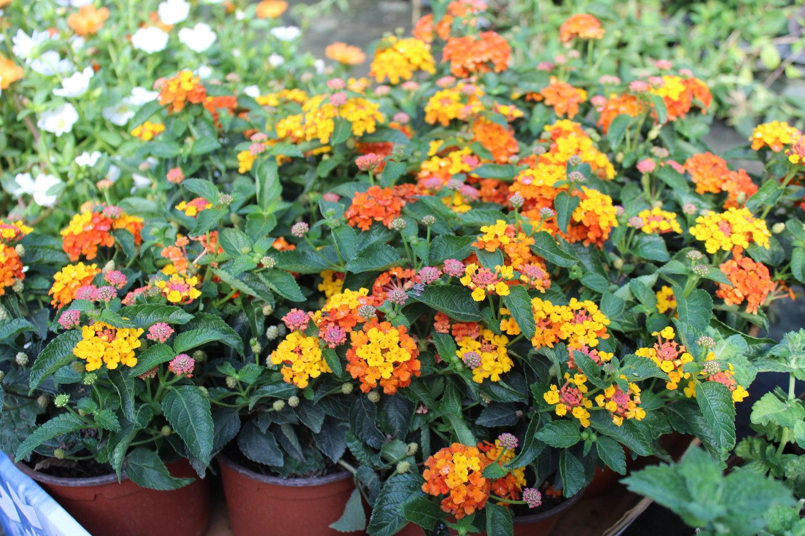 Plant Lantana Lantana Camara Wwwspicegardeneu