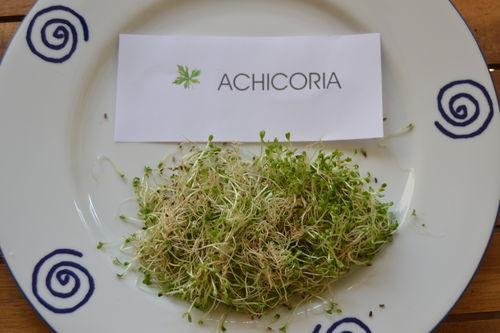 "1000 Gr Chicoree ""Dandelion"" seeds (Cichorium intybus) Sprouts"