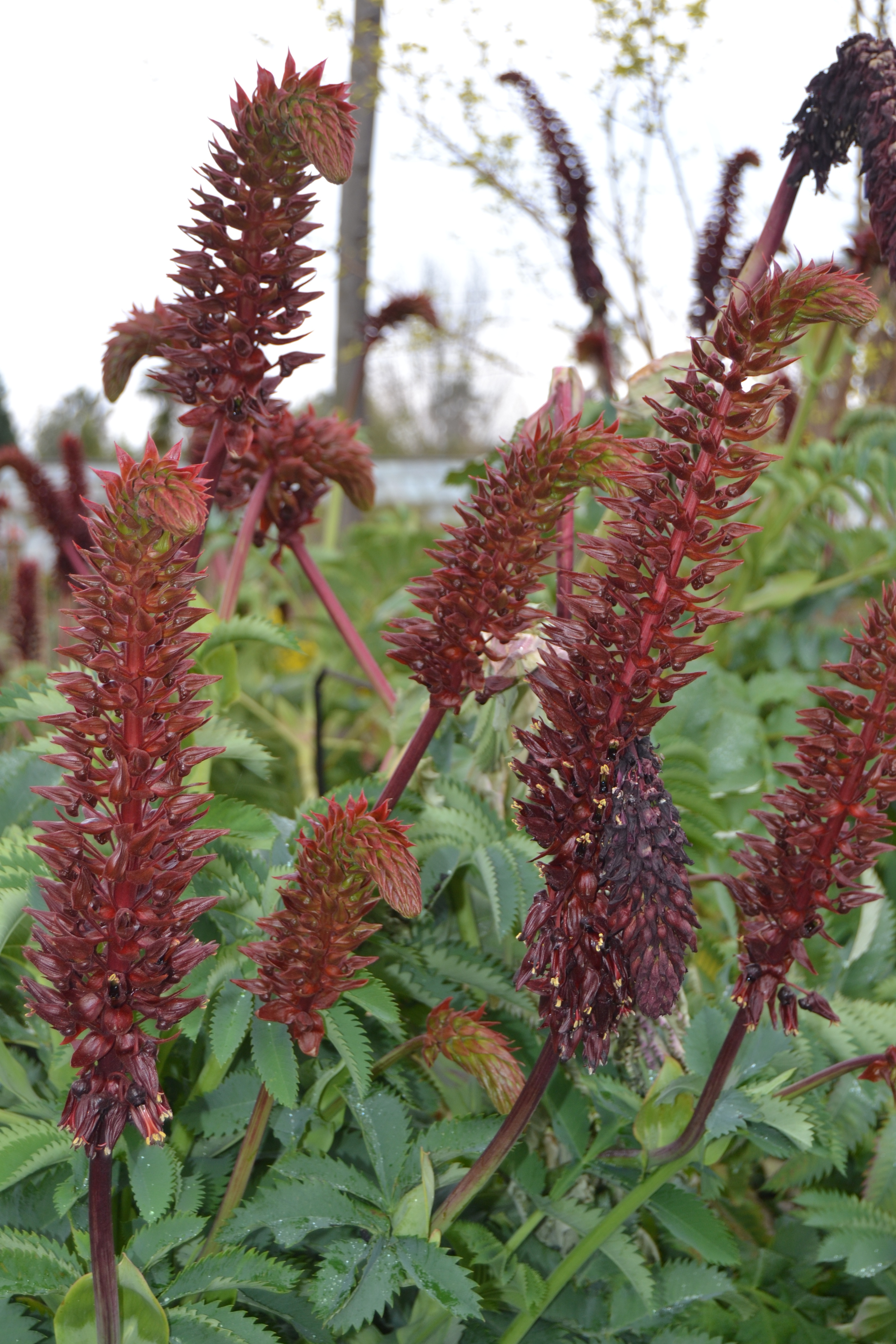 Melianthus_major_01