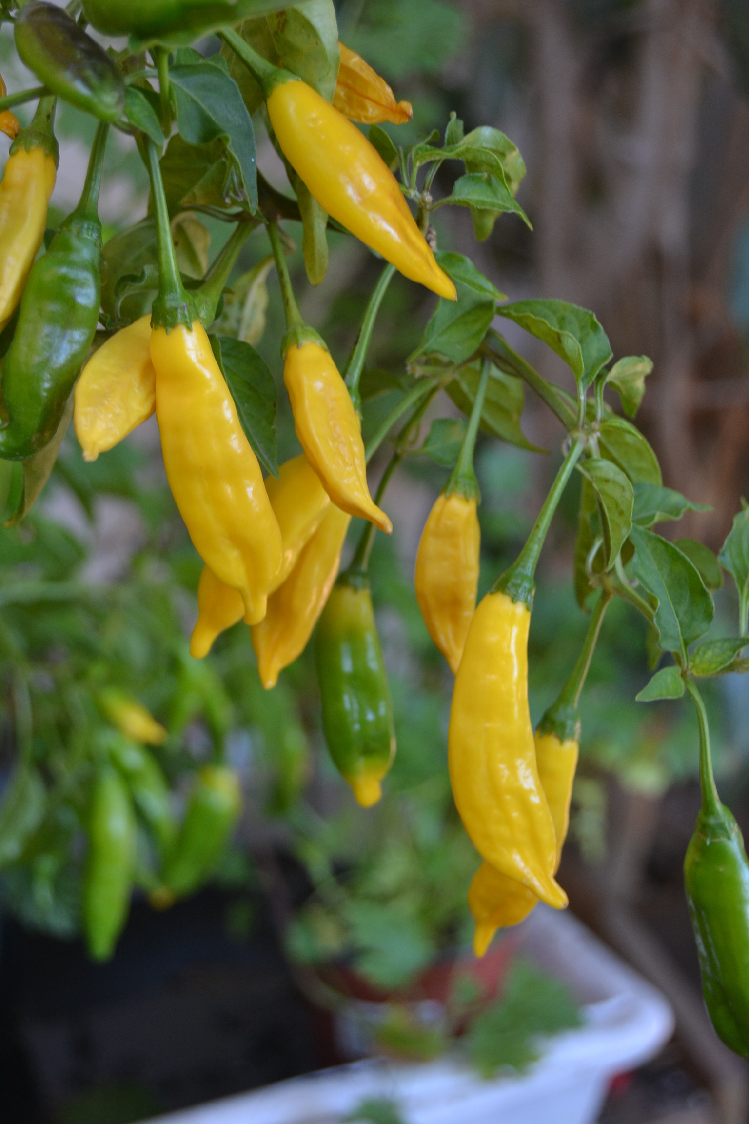 chili_hot_lemon